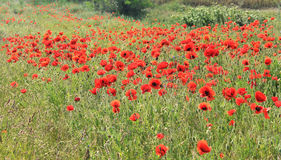Poppy field. Beautiful landscape in poppy, Bulgaria stock photo