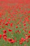 Poppy field. Field full of poppy stock images