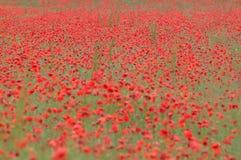 Poppy field. Field full of poppy royalty free stock photo