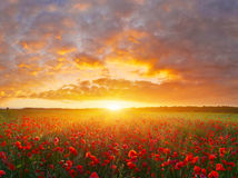 Free Poppy Field Stock Images - 62552094