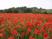 Poppy field. In the UK Stock Photo
