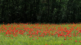 Free Poppy Field Stock Images - 77917384