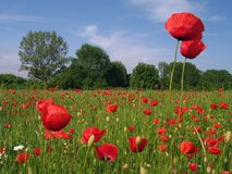 Poppy Field. In Spring stock images