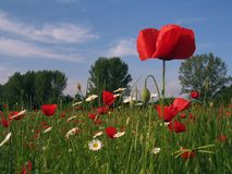 Poppy Field. In Spring royalty free stock image
