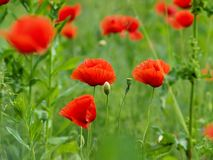 Poppy field. Red poppy flowers at green field Stock Images