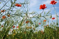 Poppy field. Field full of poppy royalty free stock photos