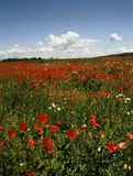 POPPY FIELD. With clouds and forest on horizont in Hungary Royalty Free Stock Photography