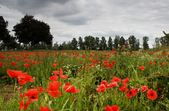 Poppy field. And solitary tree Royalty Free Stock Photography