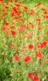 Poppy field. Field of red poppies amongst grass, romantic soft light summer day royalty free stock photos