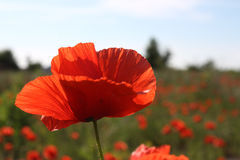Poppy field. With single flower in focus stock photo