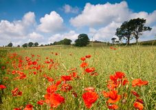 Poppy Field. Summer poppy field in English countryside with blue sky and fluffy clouds Stock Images