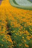 The poppy field. The orange popy field Royalty Free Stock Photos