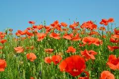 Poppy field against the blue sky.  Stock Photos