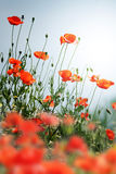 Poppy field against blue sky Stock Photography