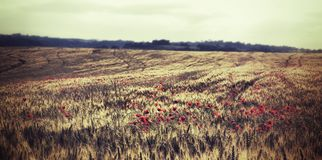 Poppy Field against the Sun Stock Photos