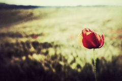Poppy Field against the Sun Royalty Free Stock Images