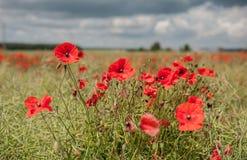 Poppy Field avec orageux Photographie stock