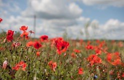 Poppy Field avec orageux Images stock