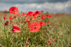 Poppy Field avec orageux Image libre de droits