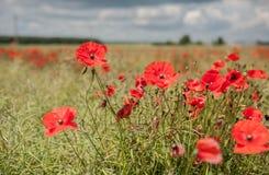 Poppy Field avec orageux Photos libres de droits