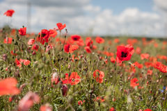 Poppy Field avec orageux Photos stock