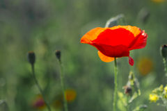 Poppy. In the field at back sunset light Stock Photo