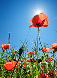 Poppy Field Background Royalty Free Stock Images