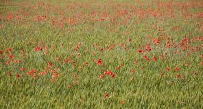 Poppy field background Stock Image