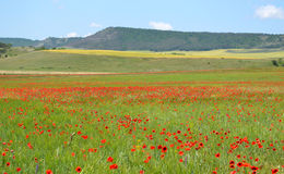 Poppy field. On a background of mountains stock image
