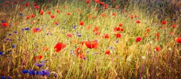 Poppy field on a background of reached. Poppy field on a background of wheat reached Royalty Free Stock Photo