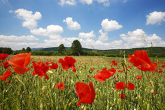 Poppy field. With beautiful clouds Royalty Free Stock Photography