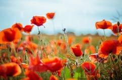 Poppy field. Beautiful poppy field with nice blue sky Stock Photos