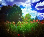 Poppy Field. A beautiful picture of poppies Royalty Free Stock Photo