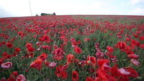 Poppy field. stock video