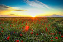 Poppy field with beautiful sunset background. Poppy and camomille field with beautiful sunset background Royalty Free Stock Photos