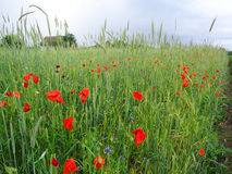Poppy field. Beautiful field in the village where poppies are blooming Royalty Free Stock Images