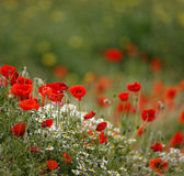 Poppy field with bee  close group of poppies mixed with wild daisies, oil seed rape and hedge parsley Stock Photo