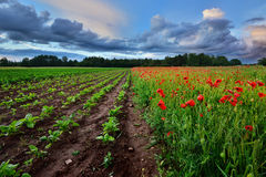 Poppy field and a beta field in Latvia Stock Image