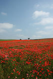 Poppy Field in Bloom. A stunning sea of red looking across a poppy field Royalty Free Stock Images