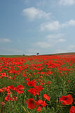 Poppy Field in Bloom. A stunning sea of red looking across a poppy field Royalty Free Stock Image