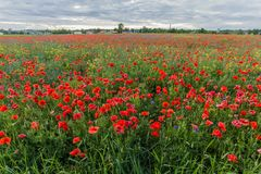 Poppy field with blooming red flowers. Poppies Papaver dubium and cornflowers Centaurea cyanus field on the sunny summer day Royalty Free Stock Photo