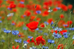 Poppy field blooming in summer Royalty Free Stock Images