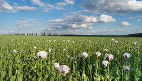 Poppy field with blooms and poppy heads stock photography