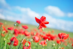 Poppy field Royalty Free Stock Photo