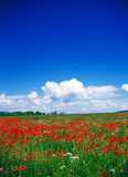 Poppy field Royalty Free Stock Images