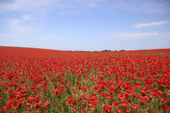 Poppy field with blue sky Royalty Free Stock Photo