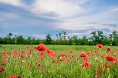 Poppy field and blue sky Royalty Free Stock Photos