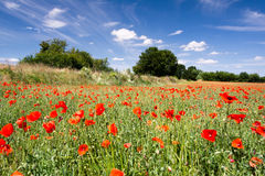 Poppy field with blue sky and trees on the background Stock Photography