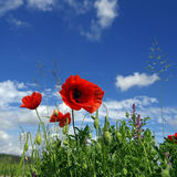 Poppy in a field and blue sky. View of a poppy in a field and blue sky Stock Photo