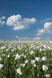 Poppy field. With blue sky and white clouds Stock Photos